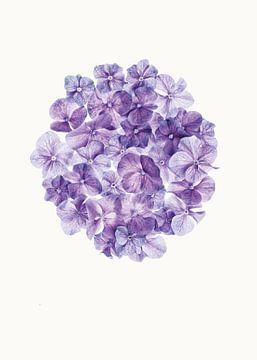 Curiosity Cabinet_Flowers_01_Hortensia sur Marielle Leenders