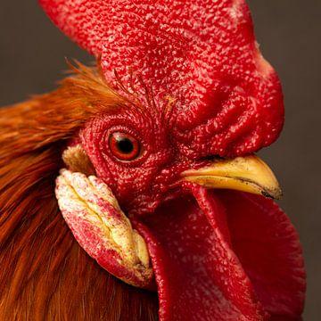 Portret van een rode haan van Latifa - Natuurfotografie