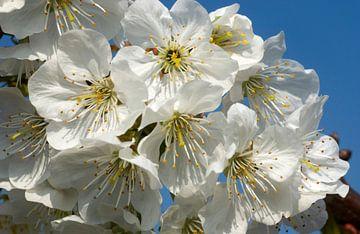 bloeiende kersenboom 2 van
