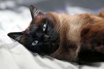 Siamese kat van Edwin Butter