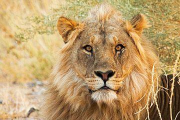 Löwen-Porträt von Britta Kärcher