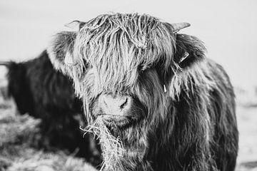 Schotse hooglanders van Leonie Wagenaar