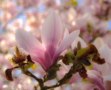 magnolia von Anita van Gendt