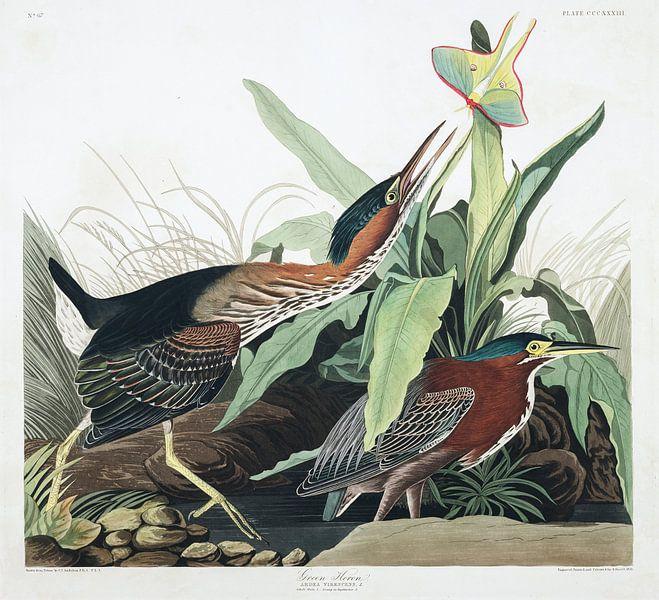 Groene Reiger van Birds of America