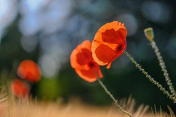 Mohnblumen im Blumenfeld von Kurt Krause