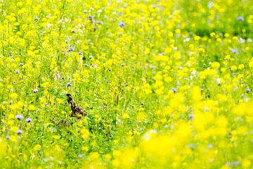 Ein Hase versteckt sich im gelben Feld von Robbert De Reus