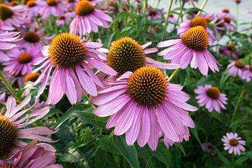 Blumen des Purpur Sonnenhut von Menno van der Haven
