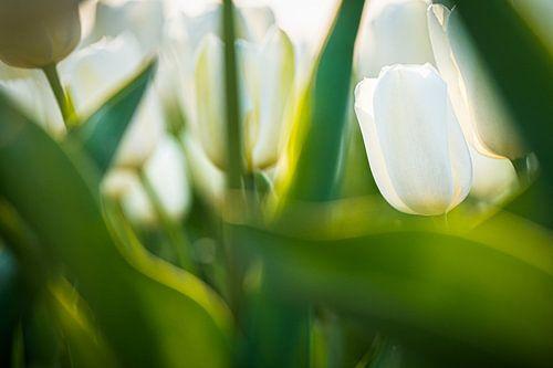 Wit bollenveld in bloei