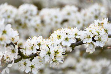 Die Frühlingsblüte von bart hartman