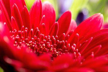 Blume Makro von Rob Bergman