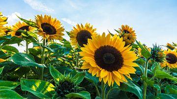 sonnenblumenfeld vor blauem himmel von Dörte Stiller