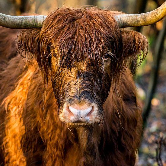 Stoere kop  Schotse Hooglander