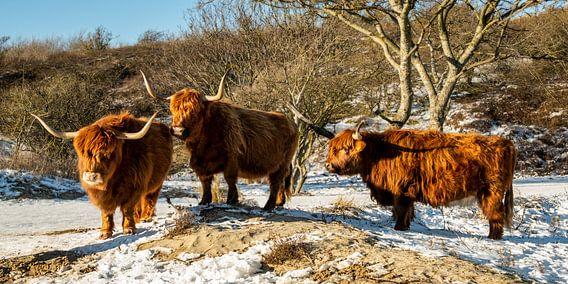 Drie Schotse hooglanders staan rustig in de sneeuw.