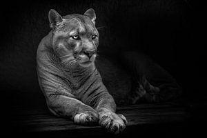 Kalm ligt hij zijn poten vooruit te strekken, een mooi zachtaardig beest, een enorme kat, poema, zwa van Michael Semenov