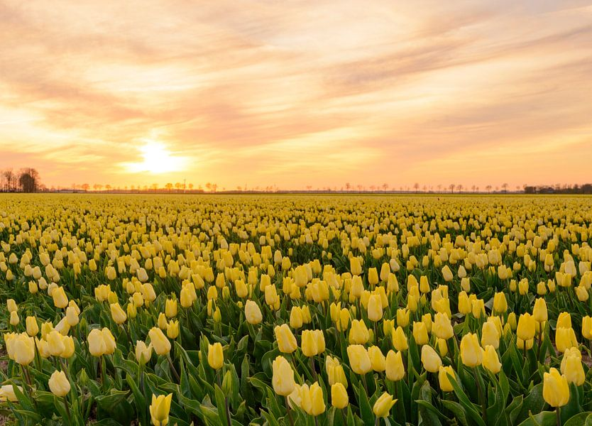 Gele tulpen tijdens zonsondergang