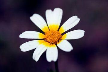 Wildblume am Wegesrand von Angelika Stern
