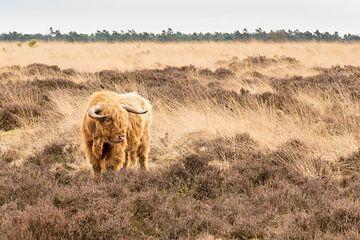 Schotse Hooglander op de Heide von Henri van Avezaath