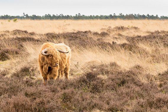 Schotse Hooglander op de Heide
