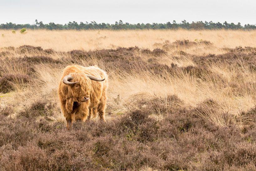 Schotse Hooglander op de Heide van Henri van Avezaath