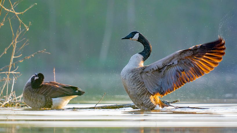 La bernache du Canada impressionne sur Sam Mannaerts Natuurfotografie