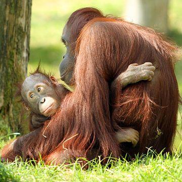 Orang-oetan mama met baby van