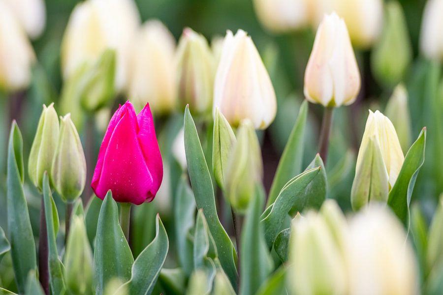 tulpen van Marcel Derweduwen