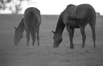 paard von Rando Kromkamp
