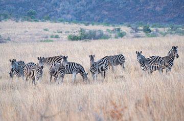 Zebras von Joop Bruurs