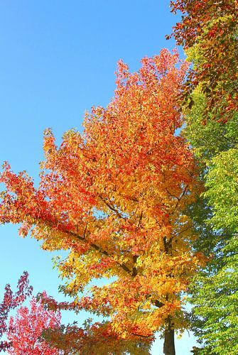 Herfstbladeren  en kleuren in blauwe lucht, Nederland
