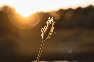 grashalm bij zonsondergang van SA Fotografie