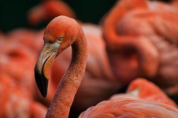 Porträt Flamingo von Mirjam Van Houten