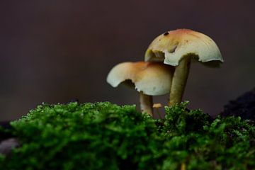 Drie paddenstoeltjes tussen het mos van Gerard de Zwaan