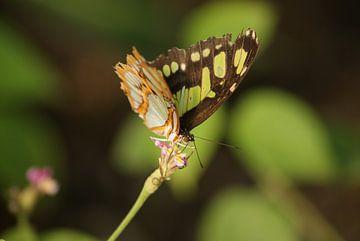 Siproeta Stelenes vlinder van Ronald en Bart van Berkel
