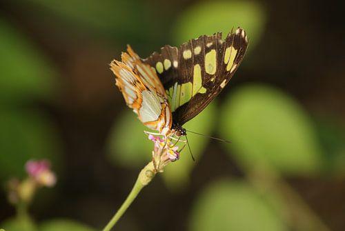 Siproeta Stelenes vlinder