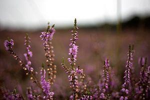Paarse heide in bloei