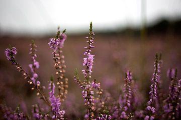 Violettes Heidekraut in Blüte von Jaleesa Koelen