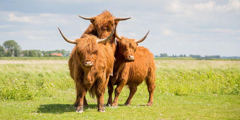 Natuur | Schotse Hooglanders op eiland Tiengemeten van Servan Ott