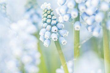 Bloeiende blauwe druifjes / Close up of blooming blue grape hyacinths / Blühenden blauen Traubenhyaz von Elles Rijsdijk