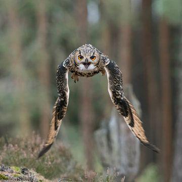 Eagle Pwl in flight... Indian Eagle-Owl / Rock Eagle-Owl * Bubo bengalensis * van wunderbare Erde
