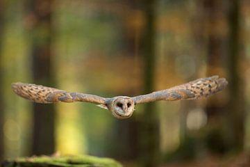 Schleiereule (Tyto alba) im Flug durch einen herbstlich gefärbten Wald von wunderbare Erde