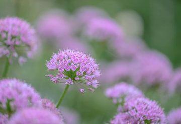 Allium-Angulosum-Gruppe von Tania Perneel