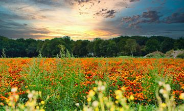 Fröhliche knallorangefarbene Feldblumen von J..M de Jong-Jansen