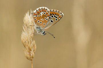 Vlinder op aar von Fokko Erhart