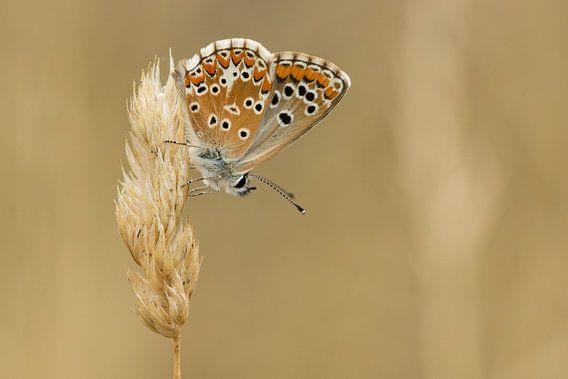 Vlinder op aar