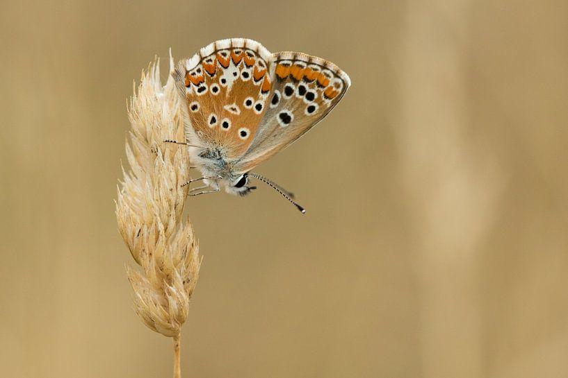 Vlinder op aar van Fokko Erhart