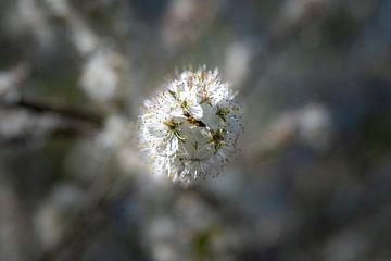 Blüte von Elma Mud