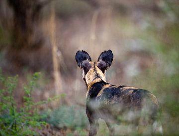 Wildhund pirscht sich an Beute an in Tsavo West, Kenia von Louis en Astrid Drent Fotografie