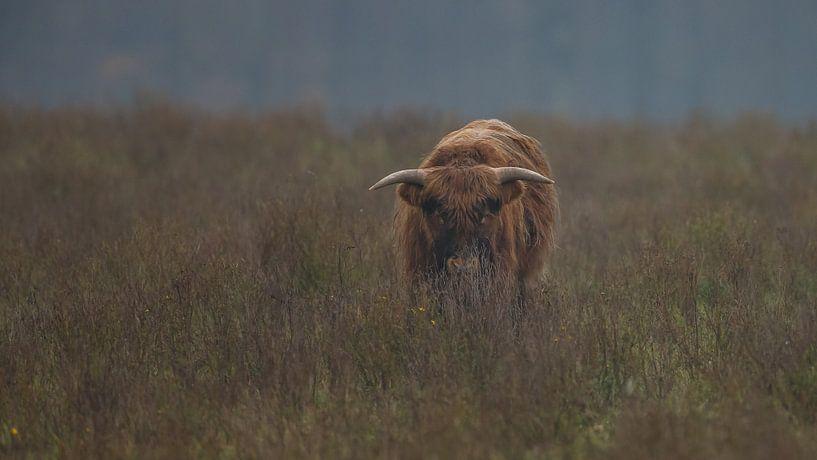 Schotse Hooglander Stier van Menno Schaefer