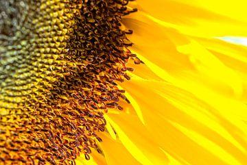 Zonnebloem van Eric van den Berg