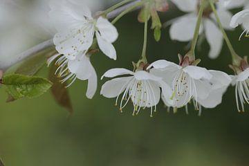 Witte kersenbloesem sur Cora Unk